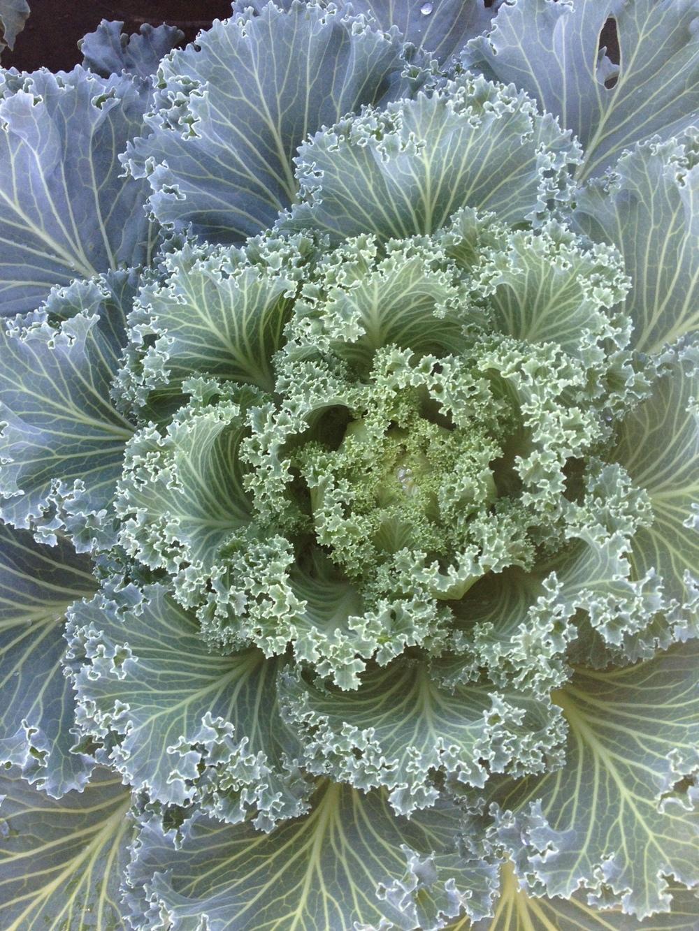 """9"""" White Kale"""