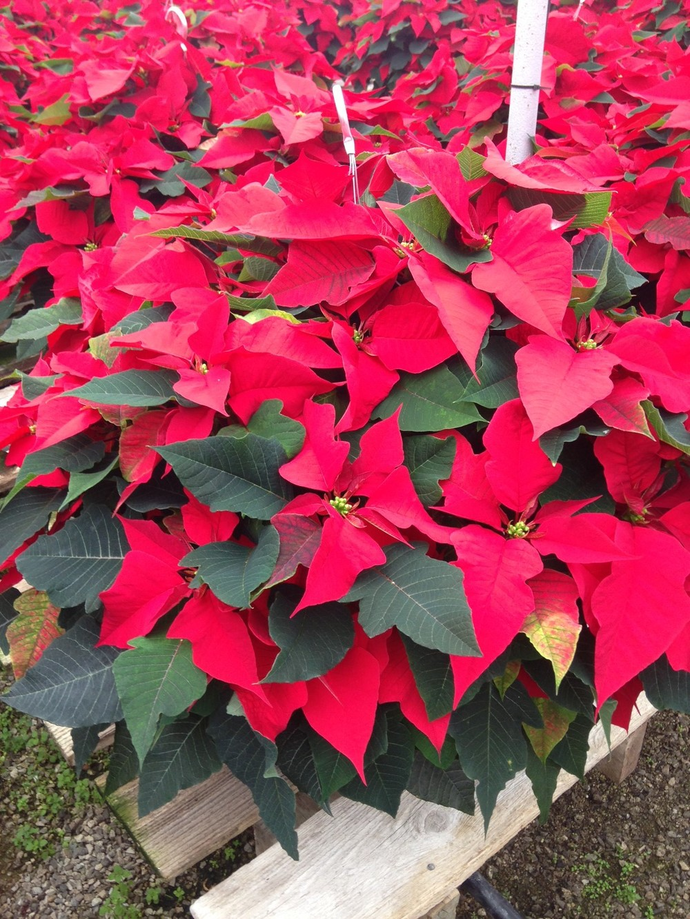 "10"" Poinsettia Hanging Basket"