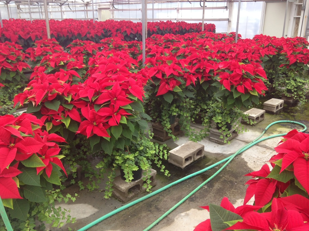 "36"" Poinsettia Topiaries"