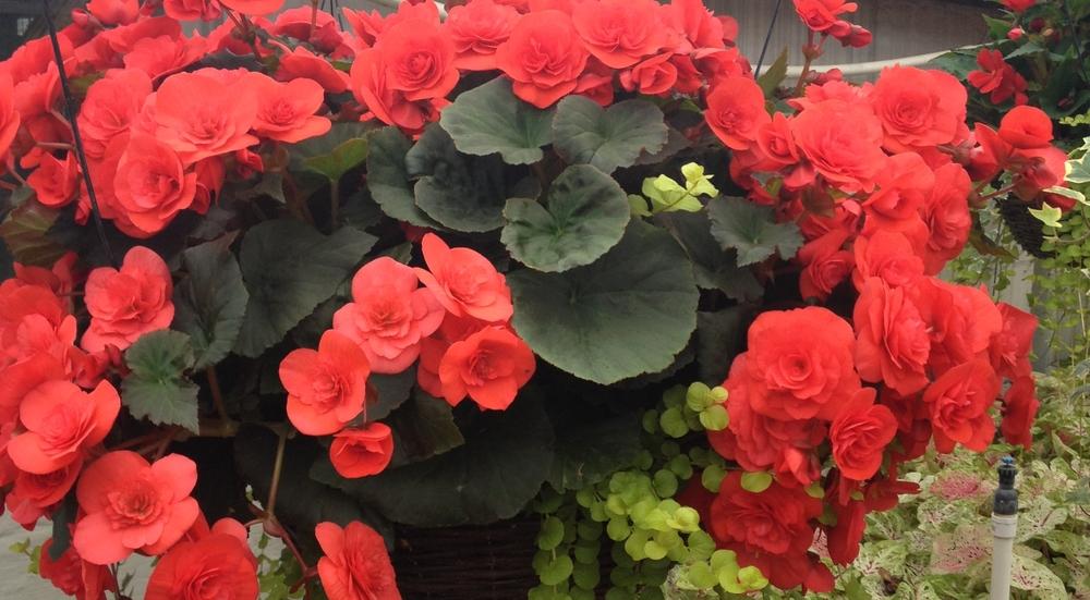 16 Inch Reiger Begonia Grapevine Basket.JPG