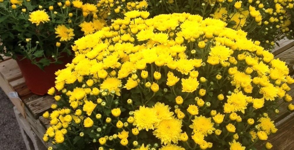 Yellow+Mums.jpg