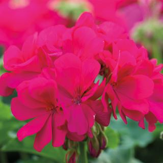 Calliope Geranium Violet.jpg