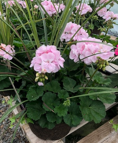 8 Geranium Combo Pink.PNG