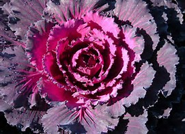 Osaka Red Ornamental Cabbage.jpg