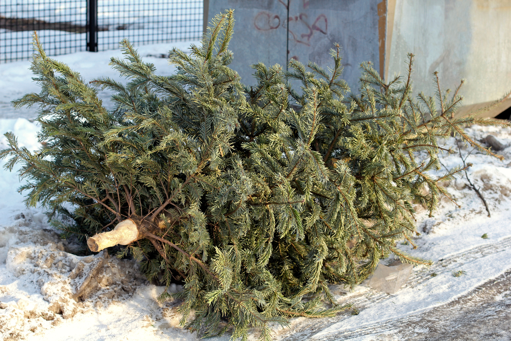 Sigh. A ton of Christmas trees and wreaths get discarded over the holidays (why can't people just get plants with roots!). If you see these sad specimens, you might want to give their sullen branches a second life by tying them to one of your succulent jars.