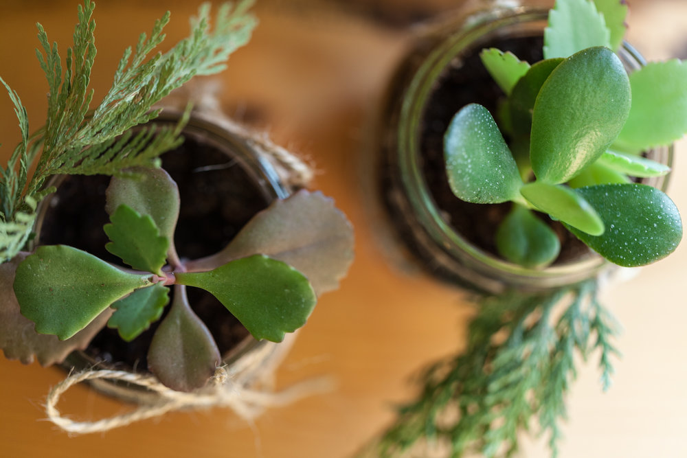 The combination of succulents with salvaged evergreen branches and twine give a festive look for your DIY holiday gift.