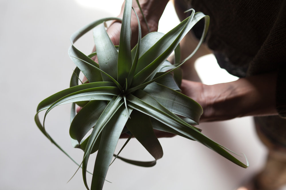 Holding a  Tillandsia xerographica,  which can get quite large in its native habitat.