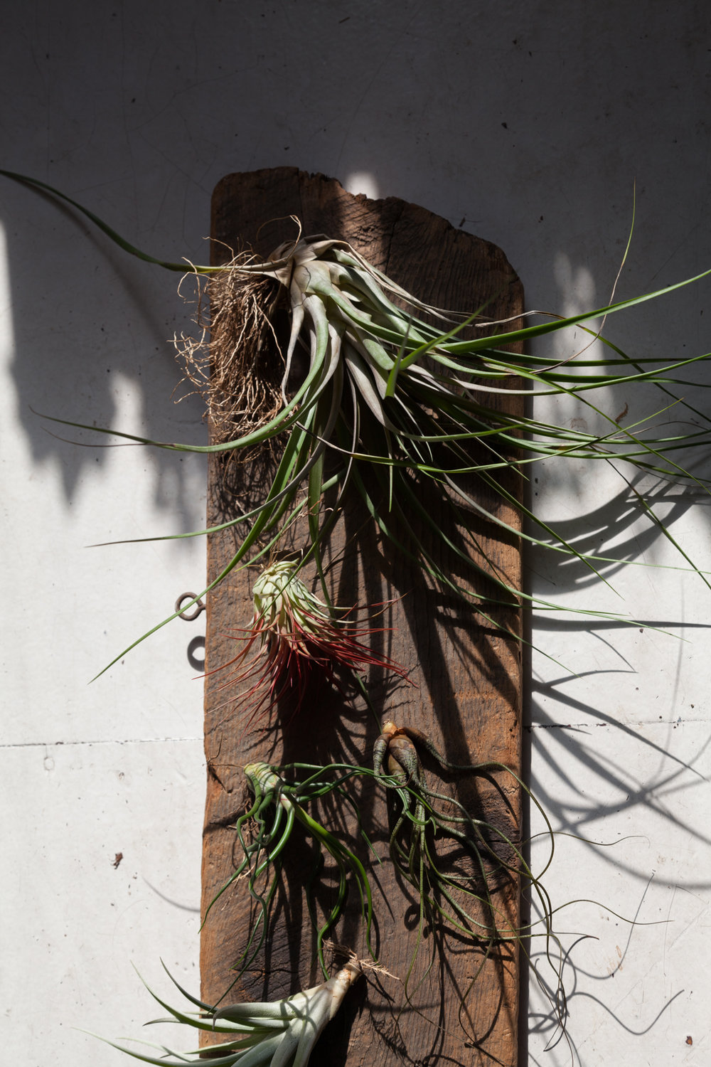 tillandsia-plants.jpg