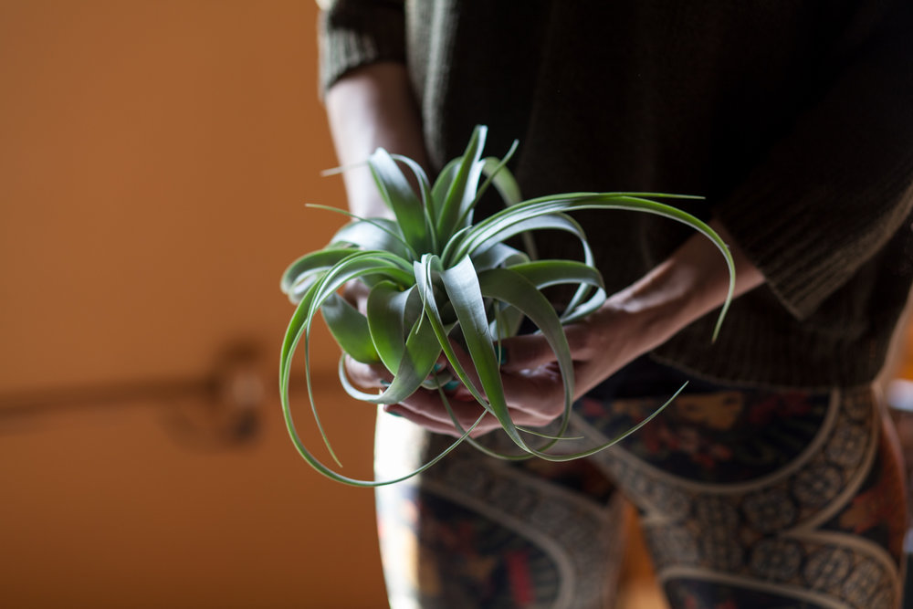 Tillandsia xerographica  can grow quite large and be a real statement piece.