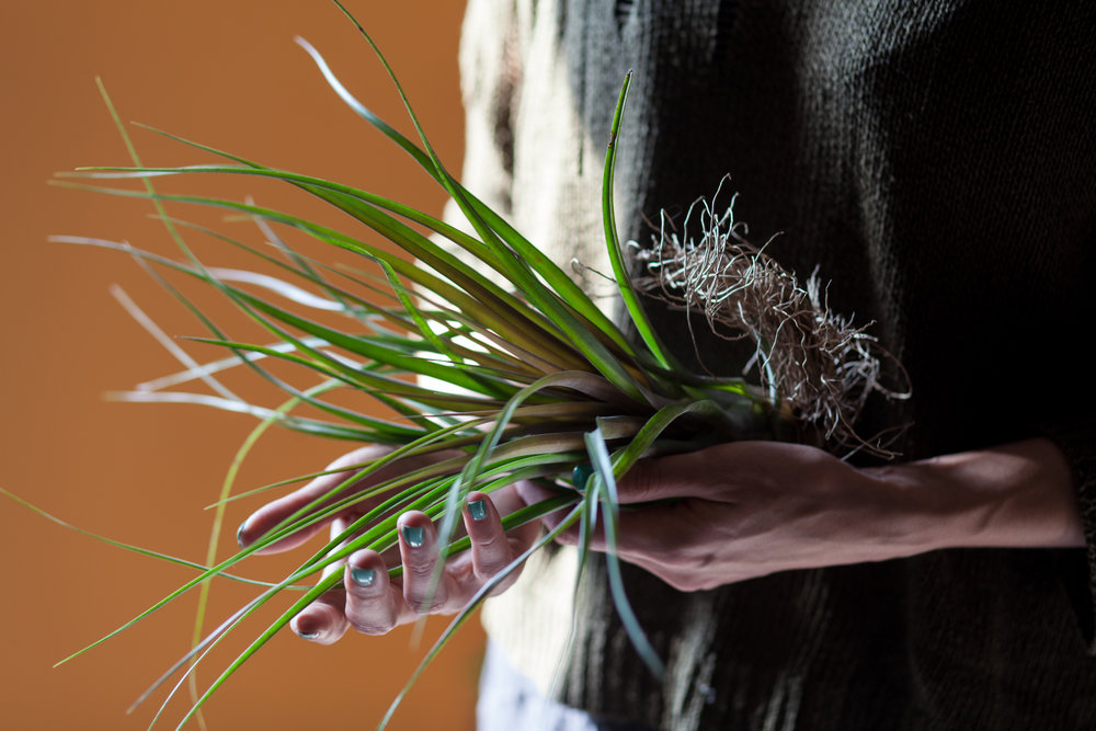 Tillandsia  can grow roots, which are strictly used to anchor the plant to its base. However,  Tillandsia  do not need roots to survive in their environs.