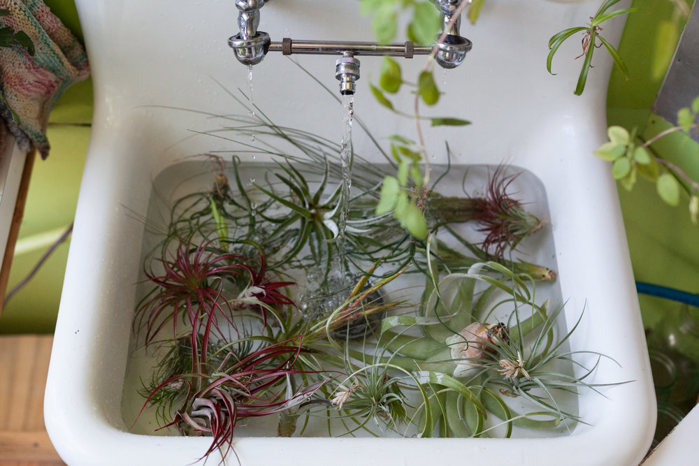 The home environment is often quite dry, so it's good practice to soak your  Tillandsia  at least once every two weeks for 30-45 minutes.