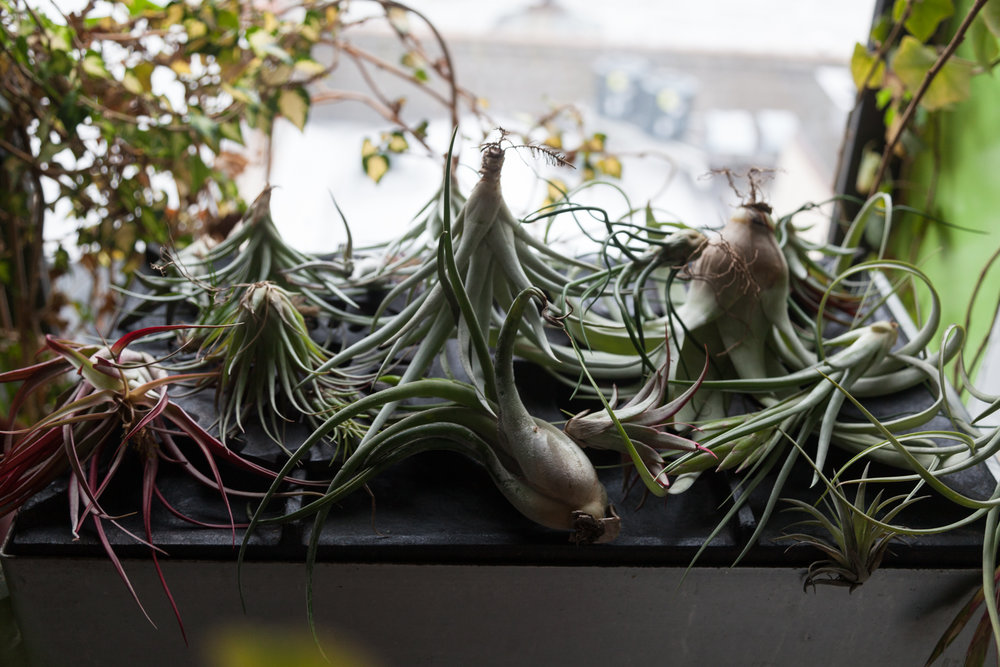 Once  Tillandsia  have been thoroughly soaked, be sure to dry them off. If the air plants remain wet, they will often rot from the inside out and it'll be nearly impossible to salvage them.