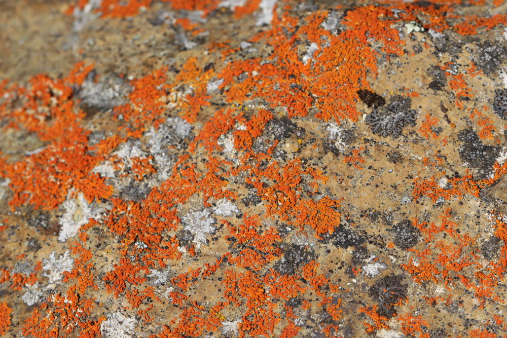 I had always been fascinated by lichen and that fascination was fostered even more through my 8th grade biology teacher, Mr. Alessio. Lichens are an intimate symbiosis between fungus and alga and produce fascinating displays of color, like this red rock lichen.