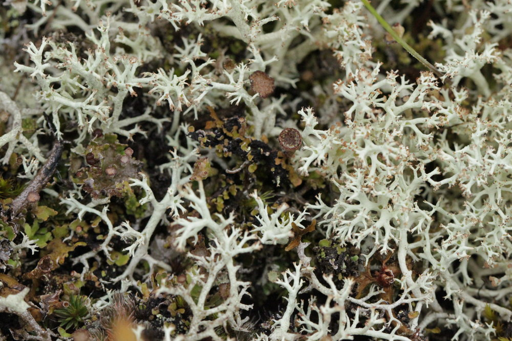 Cladonia alpestris or Reindeer moss lichen looks like miniature shrubs close to the ground.