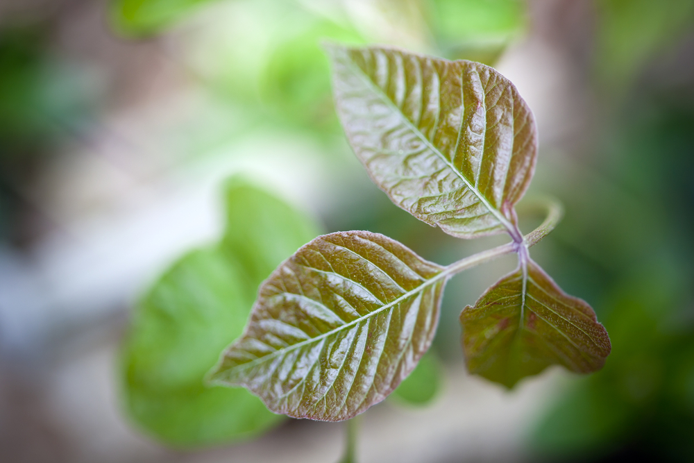 Poison ivy looks like a fairly nondescript plant, particularly if you're not on the look out for it. However, once you get it once, you'll likely always remember its iconic three-leaved appearance.