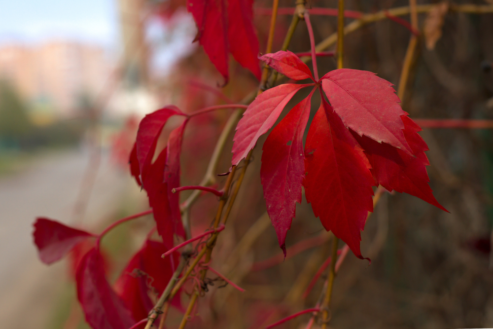 Virginia woodbine or Virginia creeper (Parthenocissus quinquefolia) turns a brilliant shade of red in the fall, similar to Poison ivy (T. radicans). However, the 5-leaf growth of Virginia creeper allows you to tell it apart from Poison ivy.