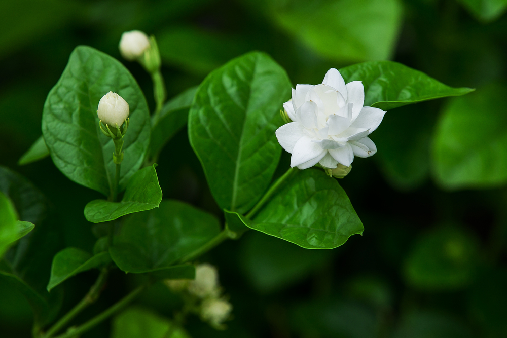 You now can find all sorts of jasmine varieties that have a most intoxicating smell. This variety, Arabian jasmine ( Jasminum sambac ), has a double flower, or flower-within-a-flower.