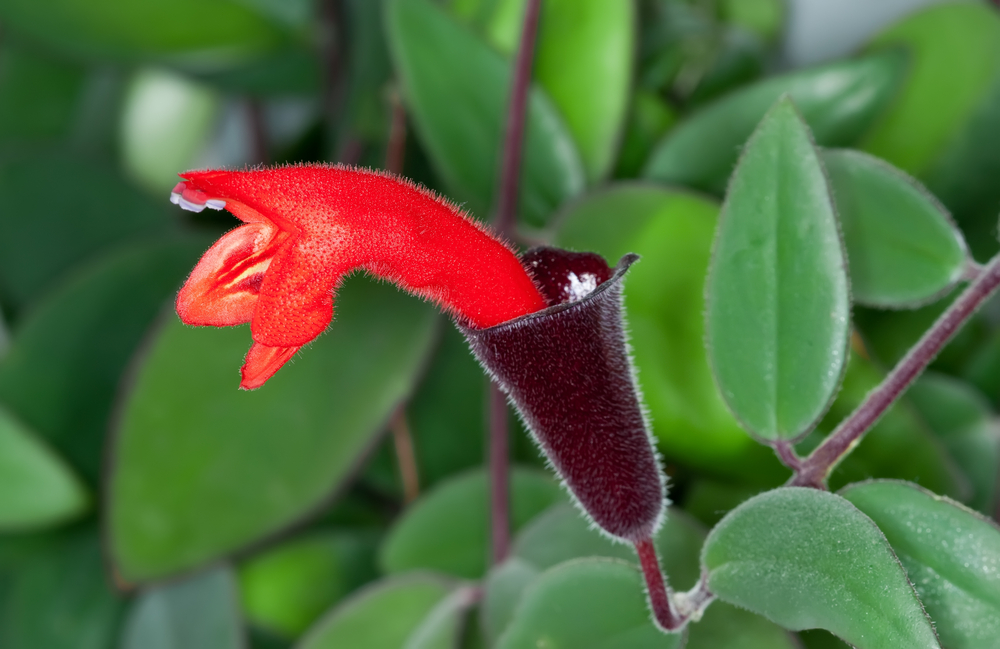 There are many different varieties of lipstick plants, including this one— Aeschynanthus radicans —which have stunning flowers that  emerge from red to black calyxes almost randomly throughout the year.