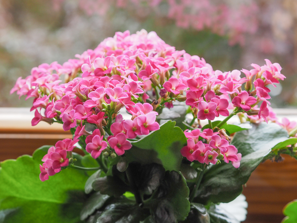 Popular in winter markets,  Kalanchoe blossfeldiana  is one of the more affordable winter-blooming plants around. Once the flowers are finished blooming, you can dead-head them and you'll be surprised how quickly the plant may bloom again.