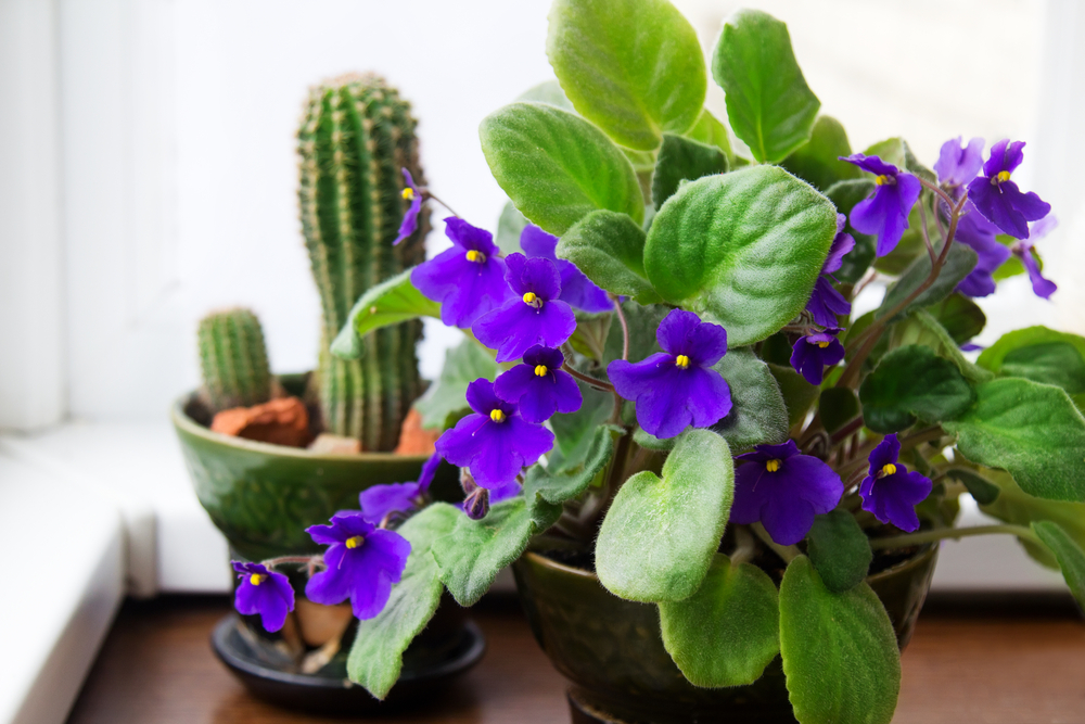 You likely have some fond memory of African violets ( Saintpaulia ionantha ), as they were at least quite popular flowers in my great grandmother's home growing up. If cared for correctly, African violets will likely bloom almost all year long.