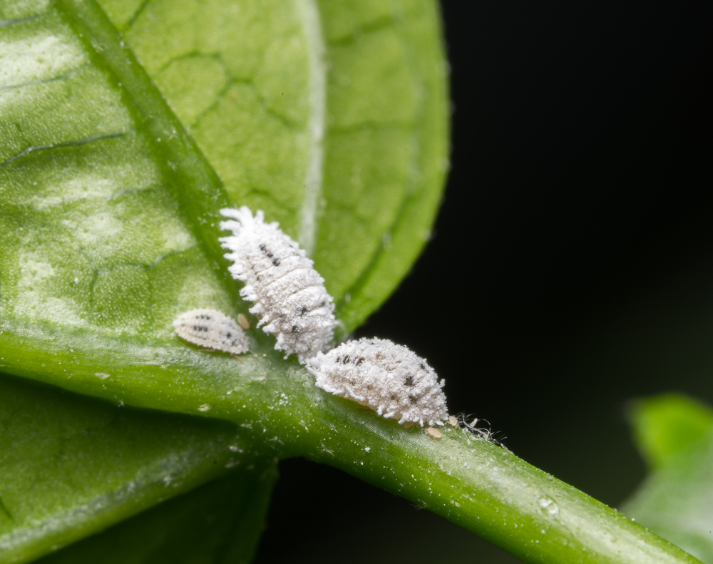 Mealybugs are a type of cottony, mobile scale that often can be seen in clumps on your houseplants. They are generalists, and I've particularly found them on everything from my potato plants, succulents, Stromanthe and Plerandra.