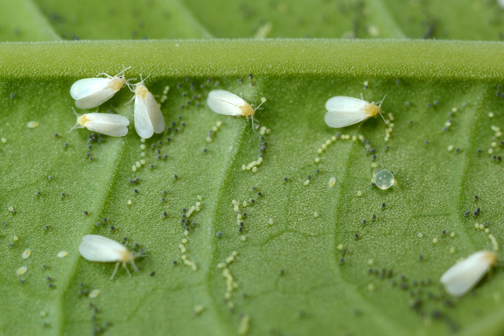 Whiteflies (Trialeurodes vaporariorum) closely resemble tiny white moths, but they are closely related to aphids and scales. Like aphids, they produce honeydew from sucking plant juices, which can then attract sooty mold, which can further harm plants.