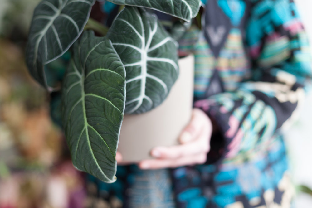 When you first bring home a houseplant, you may want to take a few precautions to make sure that it has no pests that will spread to your other plants. Pictured here, an Alocasia reginula.