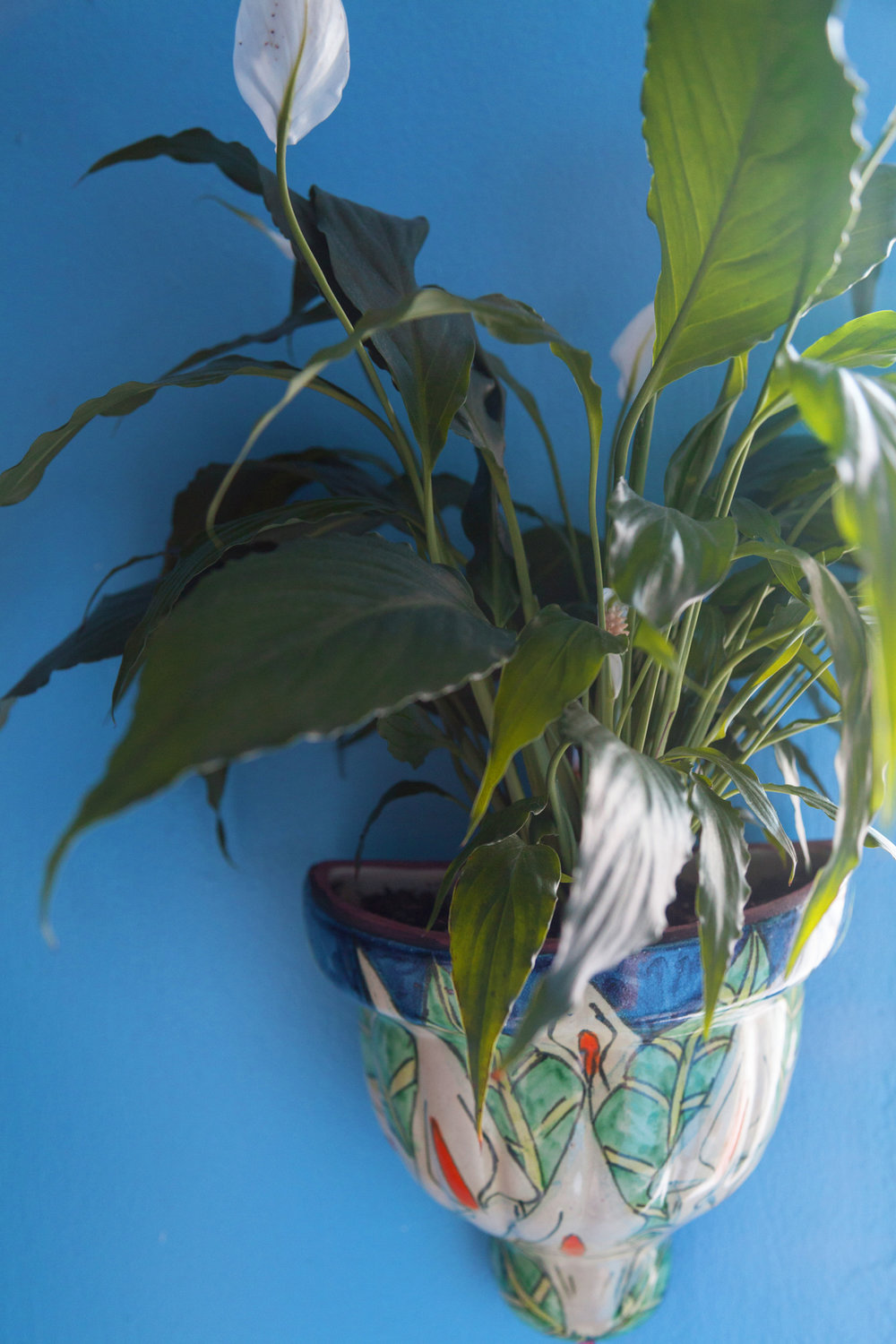 A peace lily ( Spathiphyllum wallisii ) grows in a peace lily talavera planter.