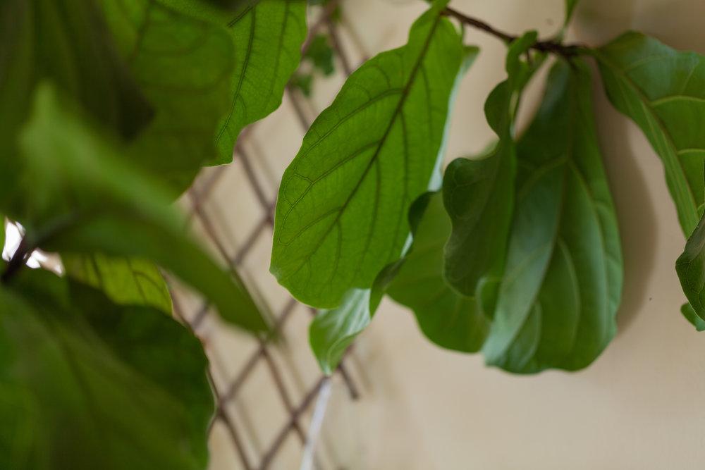 A fiddle-leaf fig (Ficus lyrata) hangs over the bedroom, capturing light.