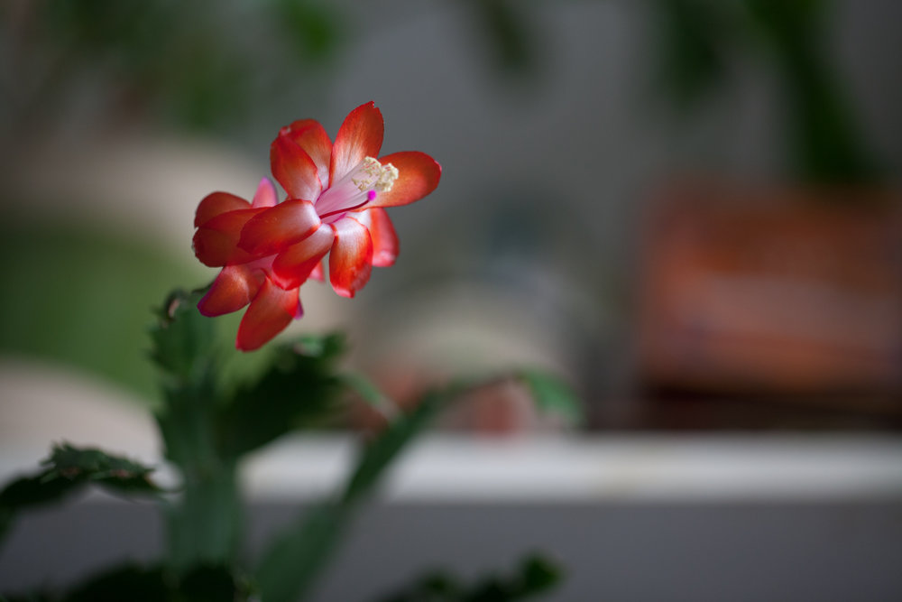 A Christmas cactus ( Schlumbergera  sp.) will often bloom without fail year-over-year at the same time every year, if it's given the right conditions when it's dormant. When blooming, it's also important to give it conditions that it prefers, which is often moister conditions.