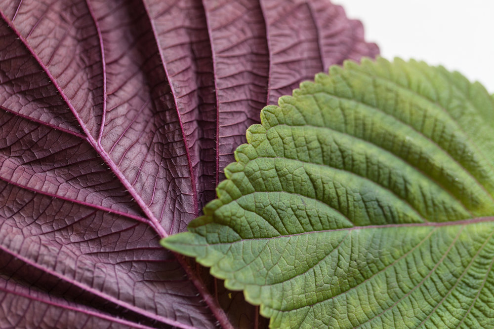 Red shiso (Perilla frutescens) is another interesting herb, which has a noticeable cinnamon or clove flavor, with a little hint of cumin. It's popular in Asian cooking.
