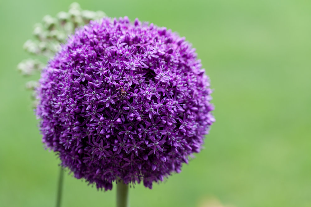 You're greeted with purple pom pom flowers (Alliums sp.) walking up to the Botanic Gardens in the summer.