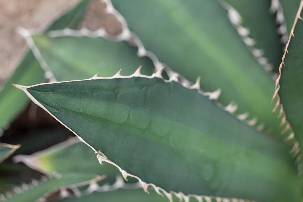 agave-nybg.jpg