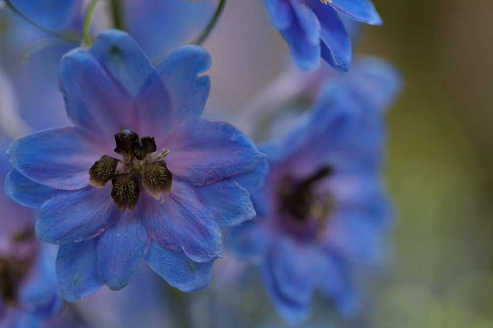 blue-flowers-nybg.jpg