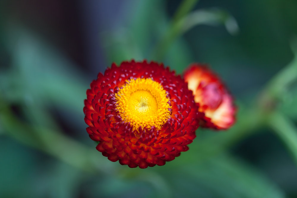 red-button-flower-nybg.jpg