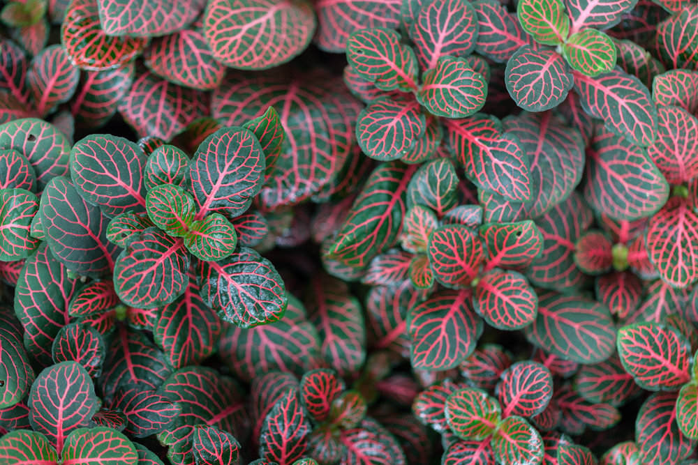 Fittonia, commonly known as nerve plant, clearly gets its name from its prominent veins.