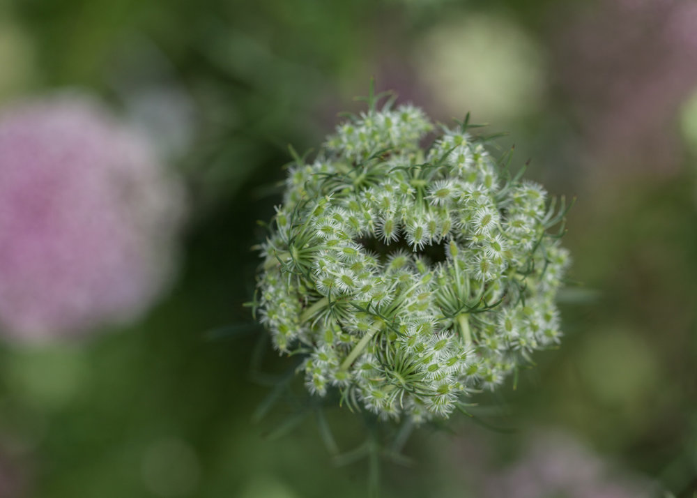 Queen Anne's lace (Daucus carota), all puckered up.