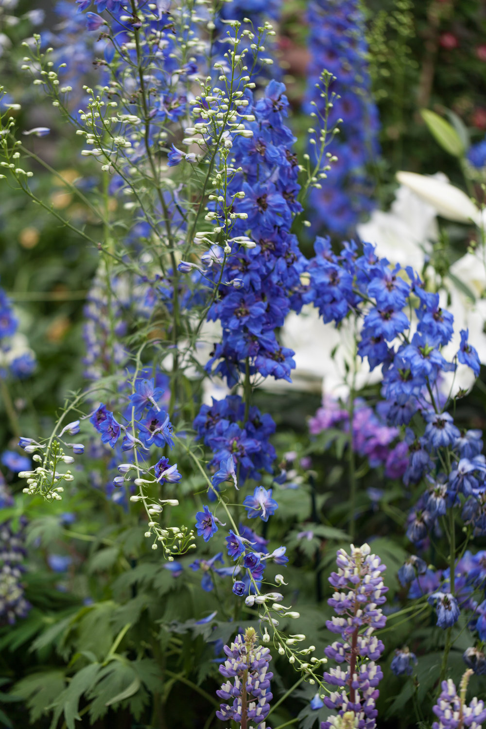 Larkspur (Delphinium sp.) flaunting their purple and blue flowers.