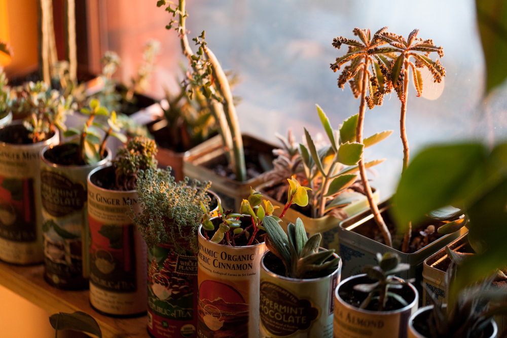 Now take a look at this winter photo, which was taken in mid-January 2017. The  Senecio articulatus   has sprouted a ton of new leaves and the  K   alanchoe daigremontiana  has been quite prolific with putting out little ones (this is even  after  I had taken some off for propagation!)
