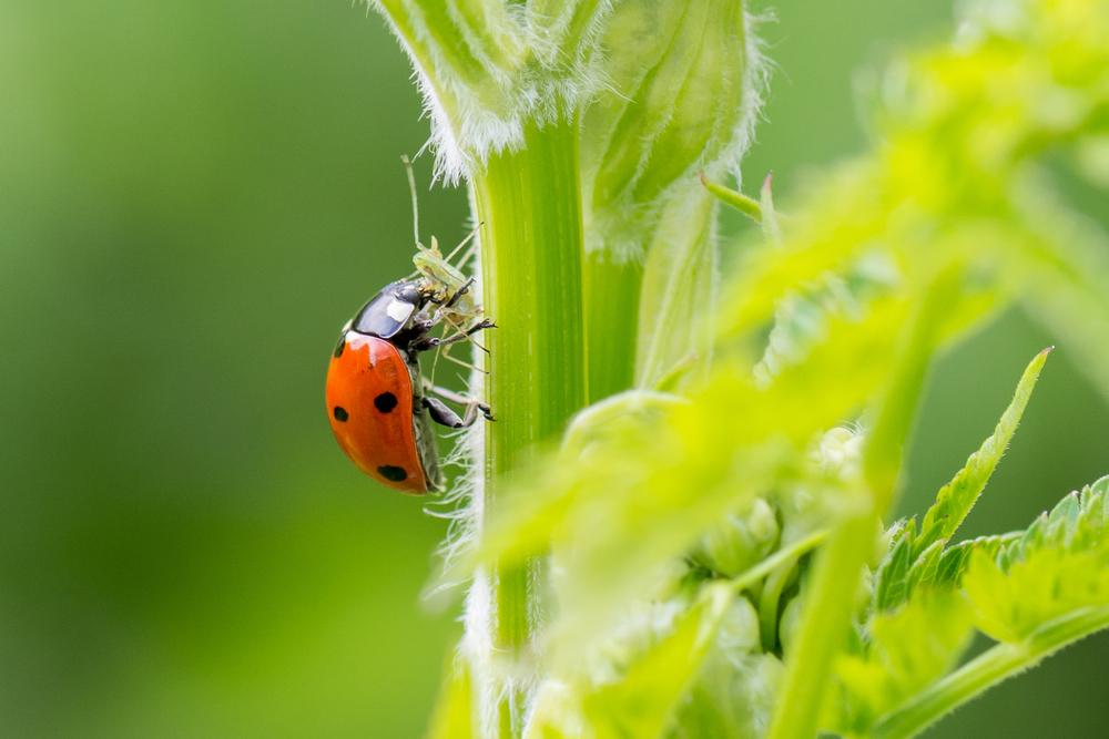ladybug-larvae-adult.jpg