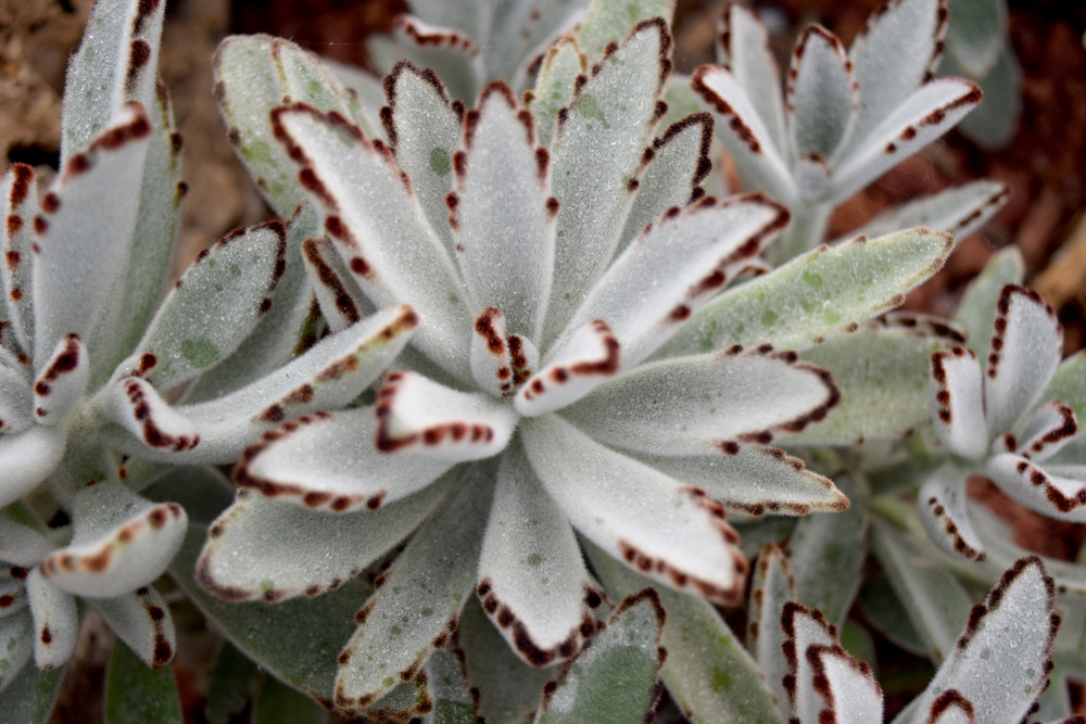 A panda plant (Kalanchoe tomentosa) is a more light-sensitive plant, preferring direct light with some bright indirect.