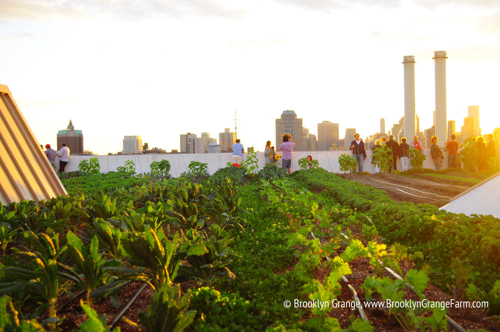 Crops at sunset at the Brooklyn Grange Rooftop Farm. Photo: Brooklyn Grange Rooftop Farm