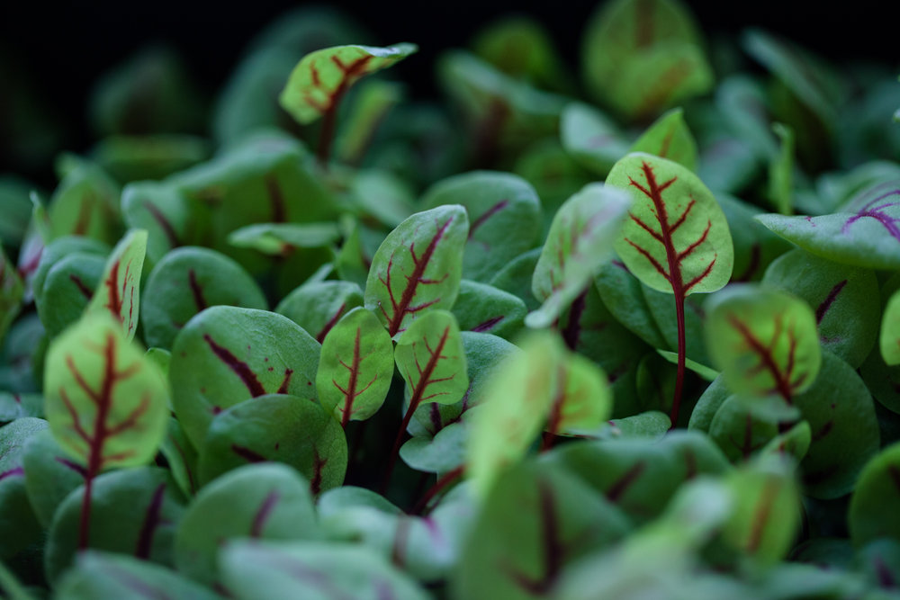 A tray of microgreen red sorrel leaves, which have an unexpected lemony bite. Photo: @HomesteadBrooklyn
