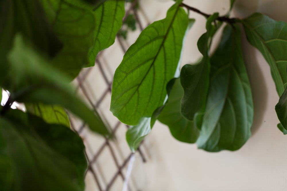 The first plant I ever purchased for my apartment was a  Ficus lyrata,  or fiddle leaf fig. It was about 3-4 feet tall and has now surpassed my 10-foot high ceilings. I estimate it's around 14 feet tall, if it were allowed to grow upwards. Photo:  @homesteadbrooklyn