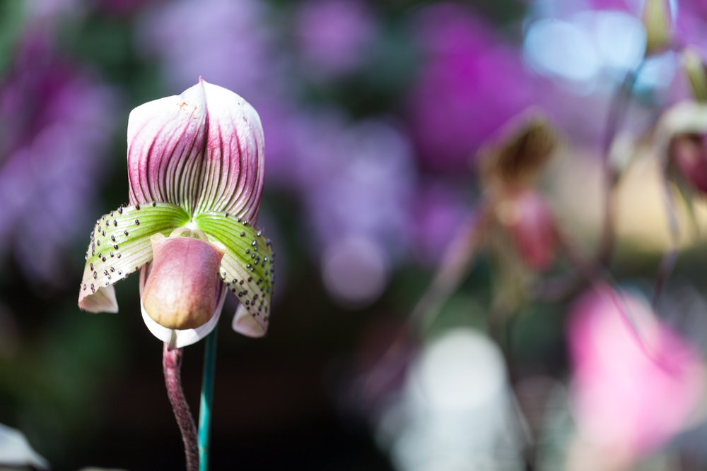 Paphiopedilum  slipper orchids at the NYBG were some of the most striking. Photo:  Homestead Brooklyn