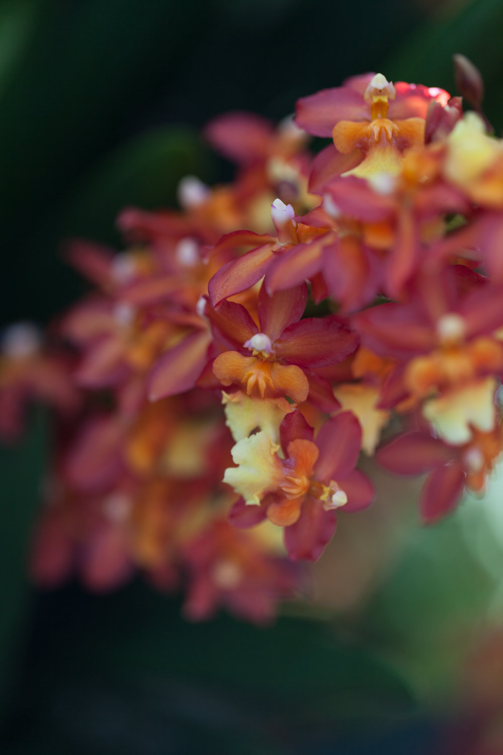 "Oncidium ""Volcano Queen"" orchid. Photo: Homestead Brooklyn"