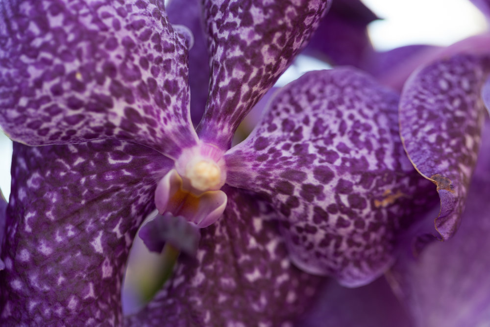 purple-orchids-nybg-homestead-brooklyn.jpg