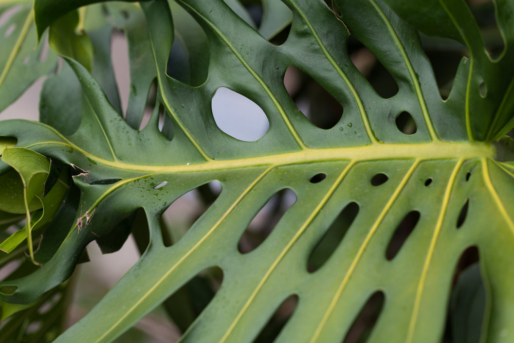 A close-up on a  Monstera deliciosa  leaf at the lodge.