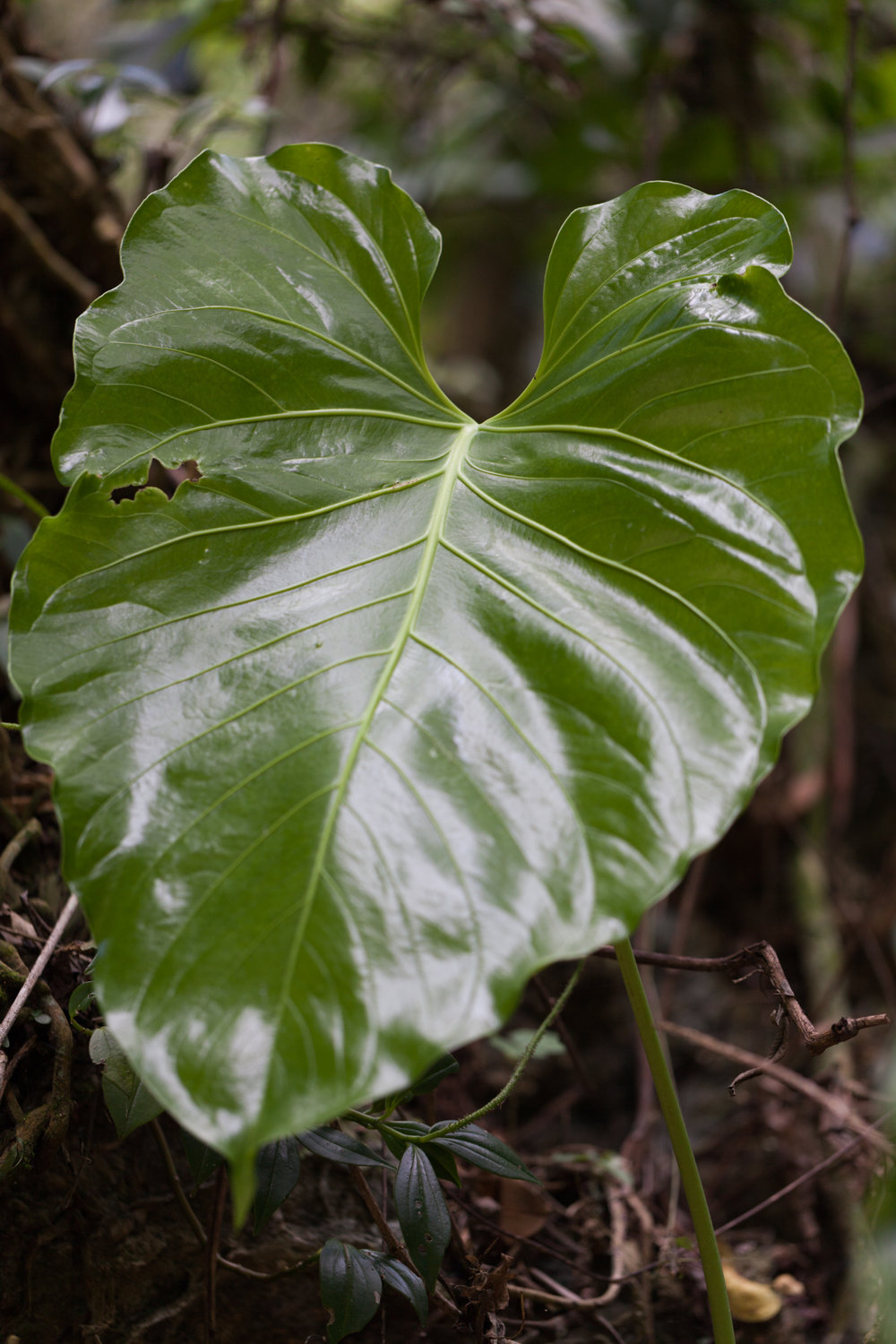 A new and shiny  Colocasia  displays its large leaf near the riverbed. Some  Peperomia  hide below it's umbrella-like leaf.