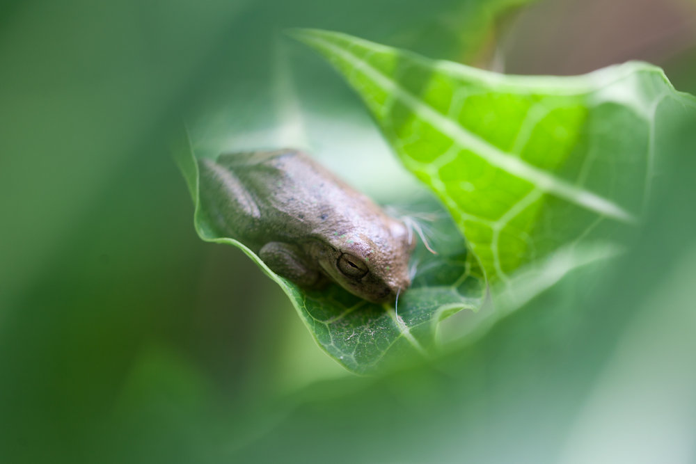 A brown tree frog rests among some leaves outside the hot springs in Costa Rica.